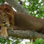 queen elizabeth National Park Climbing lion