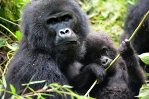 6 Days Gorillas Rwanda, a mother Gorilla with a baby