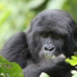 Gorilla-Bwindi Impenetrable National Park