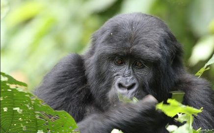 Gorilla-Bwindi Impenetrable National Park