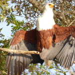 1 Day Lake Mburo National Park wild African fish eagle