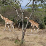 1 Day Lake Mburo National Park wild giraffee