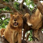 2 Days Tree Climbing Lions Queen Elizabeth National Park