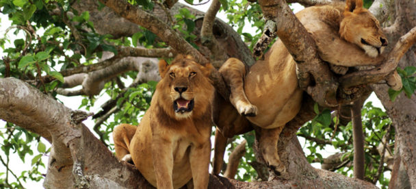 2 Days Tree Climbing Lions Queen Elizabeth National Park Ishasha sector wildlife Uganda