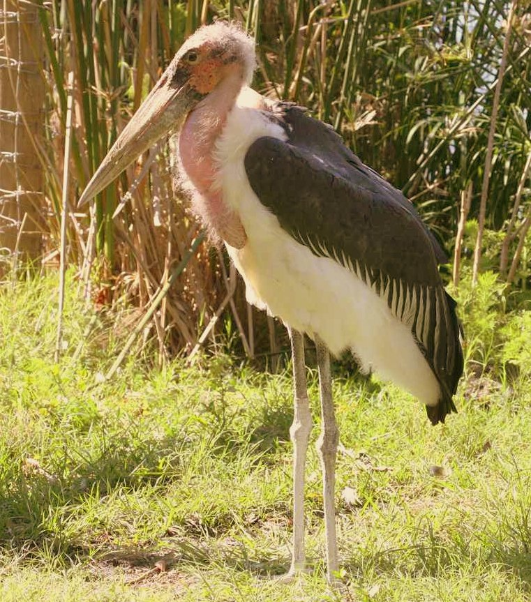 Marabou Stork kazinga channel Uganda safari
