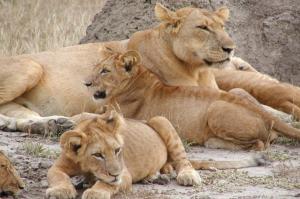 2 Days Murchison Falls National Park lion basking