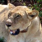 2 Days Murchison Falls National Park lion: Female lion
