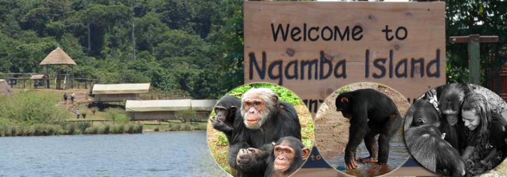 Ngamba Island a home to Orphaned Chimpanzees