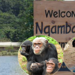 Ngamba Island a home to Orphaned Chimpanzees