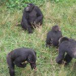 Ngamba Island Chimpazee