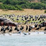 kazinga channel Bird species
