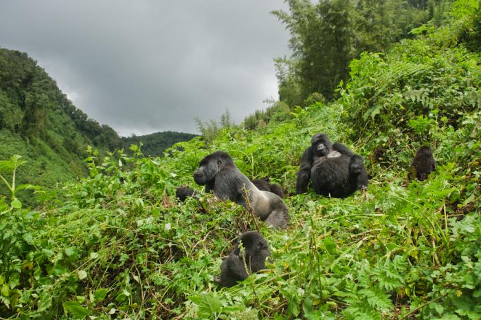Gorilla Trekking Rwanda Safaris