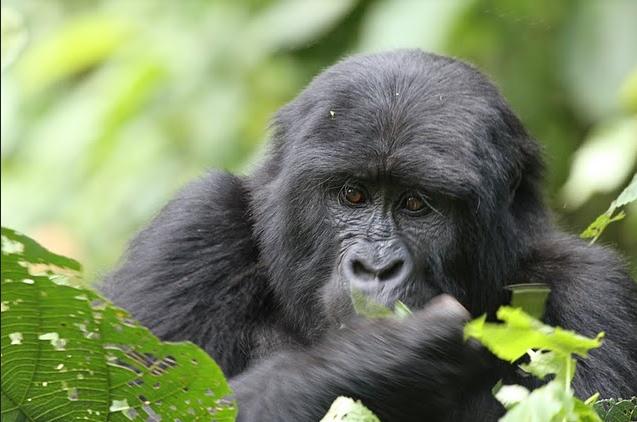 1 Day Bwindi Gorilla Tracking