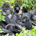 A group of Gorillas on our 2 days bwindi-gorilla trekking tour