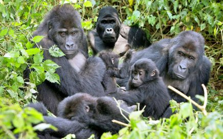 A group of Gorillas on our 2 days bwindi-gorilla trekking tour