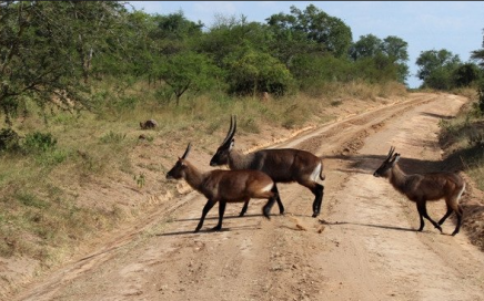 2-days-mburo-National-Park-wild-life-crossing