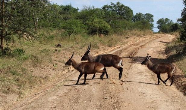 2-days-mburo-National-Park-wild-life-crossing