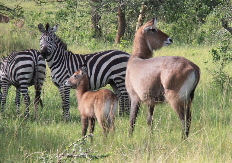 2 Days Mburo National Park Grazing wildlife