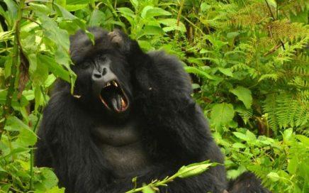 3-days-bwindi-gorilla-yawning