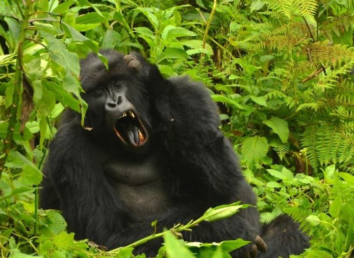 3 Days Gorilla Trekking Bwindi Impenetrable Forest
