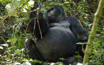 Rwanda Gorilla Permit Increase 3 days gorilla rwanda gorilla trips uganda