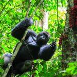 Gorilla Medicine Tour safaris