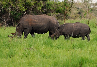 Spotted Rhinos on our 1 Day Ziwa Rhino Trekking