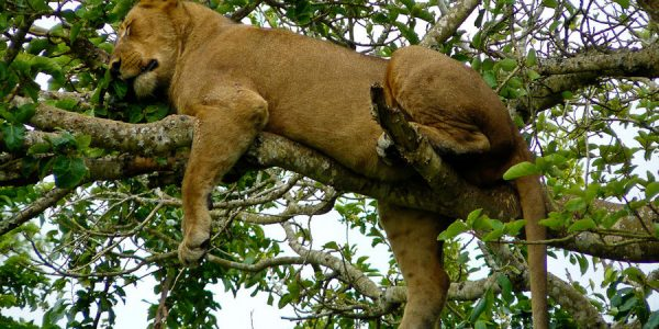 Gorilla-trips-uganda-2-Days-Queen-Elizabeth-National-Park-climbing lions