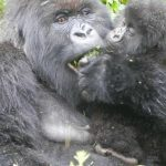 Volcanoe Gorilla being fed by its baby