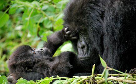 Gorilla-trips-uganda-volcanoes-national-park-gorilla-baby
