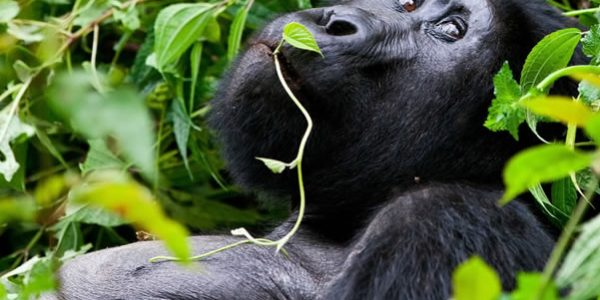 Gorilla tracking Volcanoes National Park Rwanda Wildlife