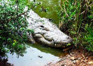 lake kyoga crocodiles