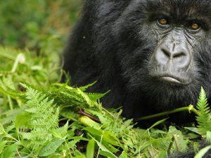 3 days Gorilla Tracking Bwindi impenetrable forest