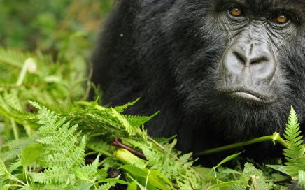 3 days Gorilla Tracking Bwindi impenetrable forest