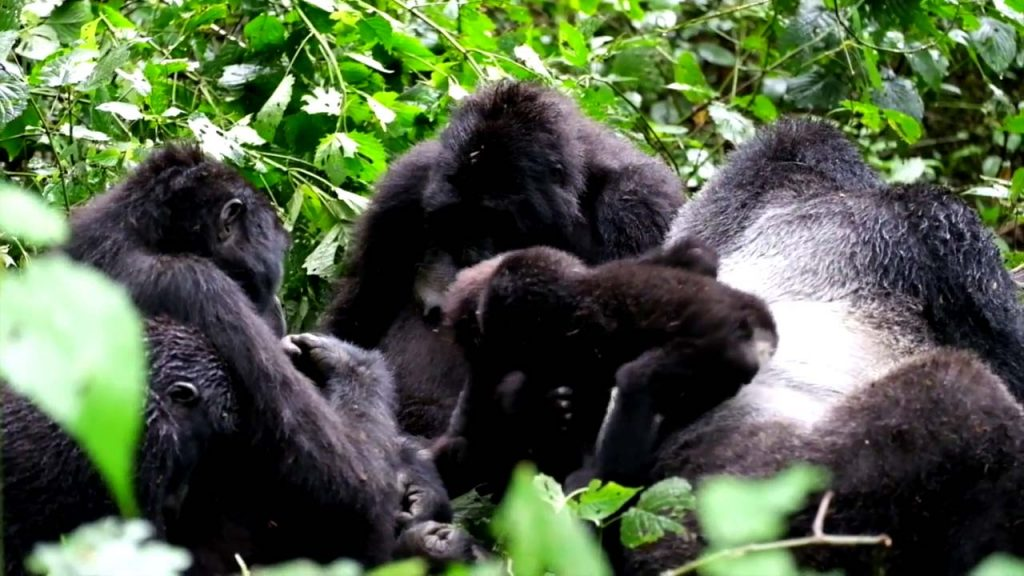 Gorilla Tracking Bwindi Impenetrable Forest