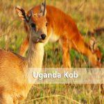 kasenyi uganda kobs