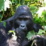 gorilla tracking Uganda Bwindi Impenetrable Forest Safari