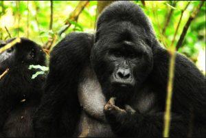 gorilla tracking Bwindi
