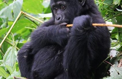 3 days Gorilla trekking Rwanda Volcanoes National Park Forest