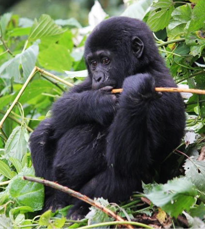 3 days Gorilla trekking Rwanda Volcanoes National Park Forest