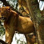 Ishasha Sector birding Climbing lions wild life queen elizabeth national park