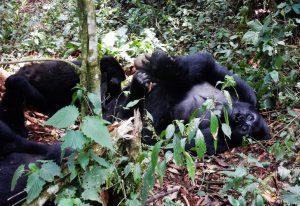 Gorilla Tracking Mgahinga