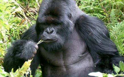 gorilla Uganda tour -uganda-mountain-gorillas-gorilla-trekking-safaris-uganda